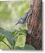 Nuthatch On The Move Metal Print