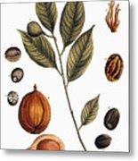 Nutmeg, 1735 Metal Print