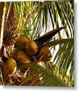 Nuts On Tree  Metal Print