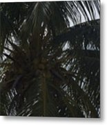 Nuts Over Coconuts Metal Print