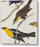 Nuttall's Starling Yellow-headed Troopial Bullock's Oriole Metal Print