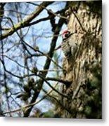 Nuttalls Woodpecker  Metal Print