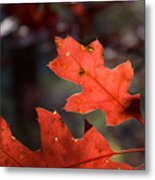 Oak Leaves Aglow Metal Print
