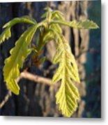 Oak Leaves In May Dawn Light Metal Print