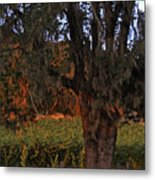 Oak Tree And Vineyards In Knight's Valley Metal Print