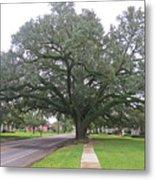 Oak  Tree  Jennings  Louisiana Metal Print