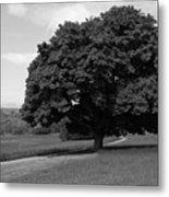 Oak Tree - Killarney National Park Metal Print