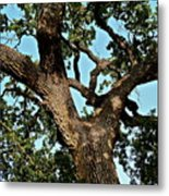 Oak Tree Two Metal Print
