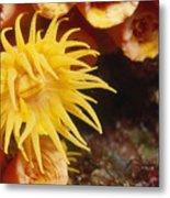 Oange Cup Coral, Tubastraea Coccinea Metal Print