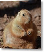 Obese Prairie Dog Sitting In A Pile Of Dirt Metal Print