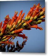 Ocotillo Flower Metal Print