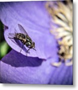 Odd Fly On Clematis Metal Print
