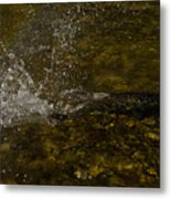 Of Fishes And Rainbows - Wild Salmon Run In The Creek Metal Print
