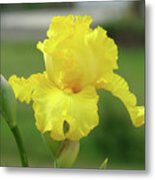 Office Art Irises Yellow Iris Flower Giclee Prints Baslee Troutman Metal Print