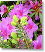 Office Art Pine Conifer Pink Azalea Flowers 38 Azaleas Giclee Art Prints Baslee Troutman Metal Print
