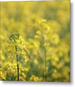 Oilseed Rape Metal Print