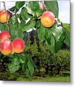 Okanagan Apricots Metal Print by Will Borden