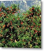 Okanagan Valley Apples Metal Print