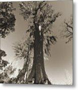 Old Cypress Tree Metal Print