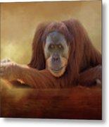 Old Man Orangutan Metal Print