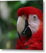 Old Red Parrot Metal Print