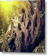Old Sacred Olive Tree  Metal Print