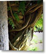 Old Wisteria Metal Print