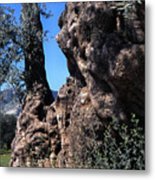 Olive Tree 2000 Years Old Metal Print