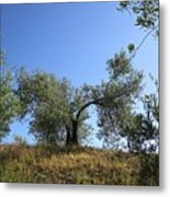 Olive Trees Near Olvera Metal Print