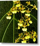 Oncidium Orchids Metal Print