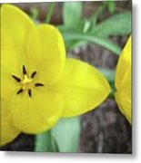 One And A Half Yellow Tulips Metal Print by Michelle Calkins