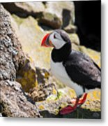 One Puffin In Iceland Metal Print