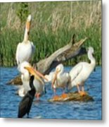 One Sassy Pelican And Friends, West Central Minnesota Metal Print