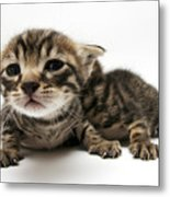 One Week Old Kittens Metal Print