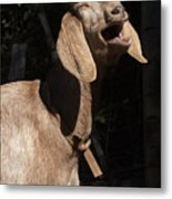 Operatic Goat Metal Print