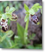 Ophrys Kotschyi Wild Orchid Plant. Metal Print