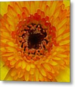Orange And Black Gerber Center Metal Print