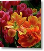 Orange And Red Tulip Lilies In Various Stages Of Bloom Metal Print
