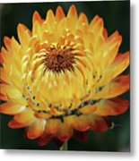 Orange And Yellow Strawflower Metal Print