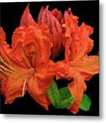 Orange Azalea Metal Print