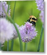 Orange-belted Bumblebee On Chive Blossoms Metal Print