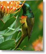Orange-breasted Sunbird Feeding On Protea Blossom Metal Print