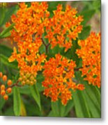 Orange Butterfly Weed From Above Metal Print