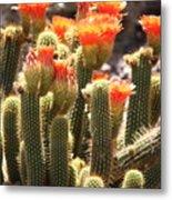 Orange Cactus Blooms Metal Print
