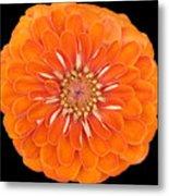 Orange Crush Zinia Metal Print