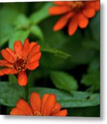 Orange Daisey's Metal Print