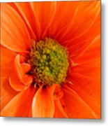 Orange Daisy - A Center View Metal Print