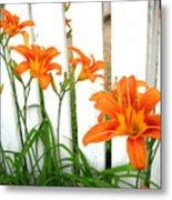 Orange Daylily At Colonial Williamsburg Metal Print