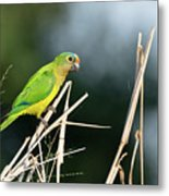 Orange-fronted Parakeet Metal Print