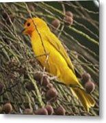 Orange Fronted Yellow Finch Panaca Quimbaya Colombia Metal Print